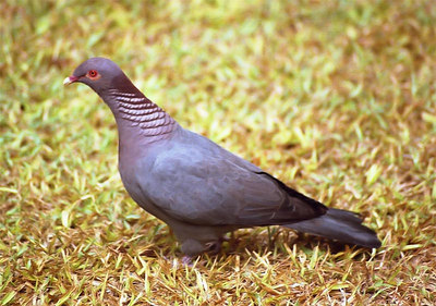 Scaly naped Pigeon